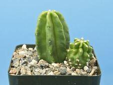 Echinocereus gentryi 'Cucumis' cactus succulent w/Offset! [Seed Grown] B81