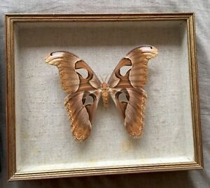 Grand-cadre-papillon-naturalise-ATTACUS-LORQUINI-PHILIPPINES-vintage-27-x-32-cm