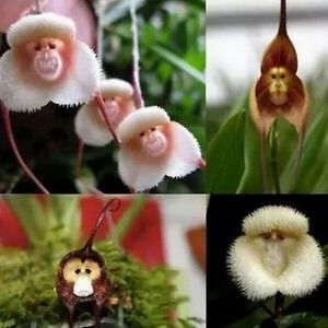 10pcs-Rare-Monkey-Face-Orchid-Flower-Seeds-Plant-Seed-Bonsai-DIY-Home-Garden-NEW