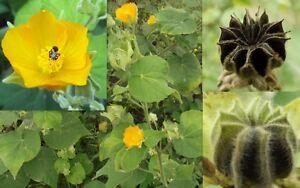 Indian Malva De Abutilon Indicum 50 Semillas Medicinales Y