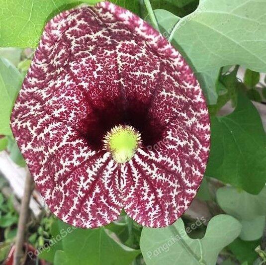 Aristolochia elegans 35 Seeds Elegant Dutchmans Pipe Calico Flower Climbing Vine