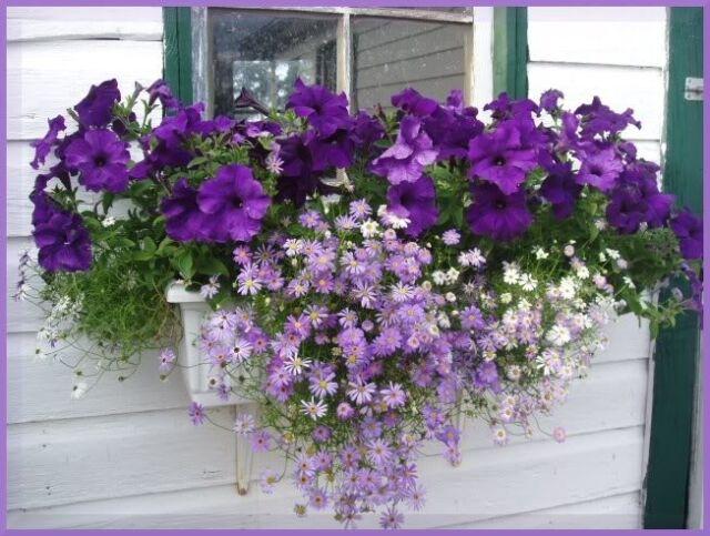 200 SWAN RIVER DAISY MIX Brachyscome Flower Seeds +Gift