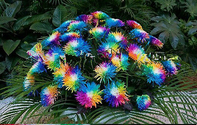 200 seeds of Rainbow Himalayan Orchid courtyard flower Tricolor Chrysanthemum