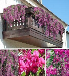 Buschklee Frostharte Blumen Winterharte Pflanzen Für Den Balkon Garten Topf Deko Ebay