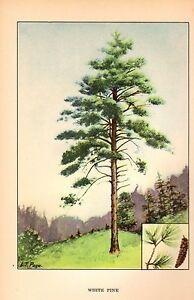 1926-Vintage-TREES-034-WHITE-PINE-034-GORGEOUS-COLOR-Art-Print-Lithograph
