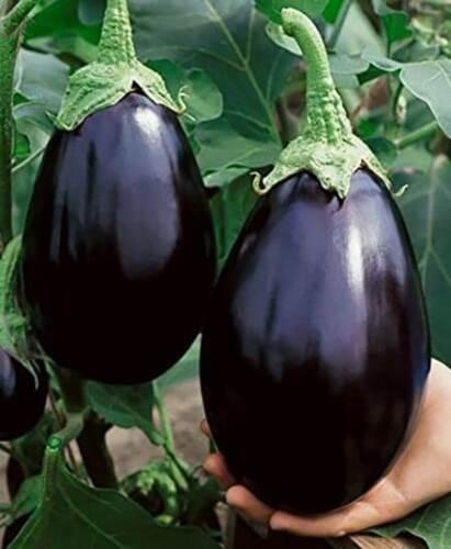 AUBERGINE BLACK handsome man Graines Aubergine bio graines Ukraine 1 g