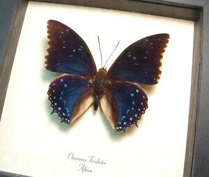 Real Framed Charaxes Tiridates The Common Blue Charaxes Butterfly 7793