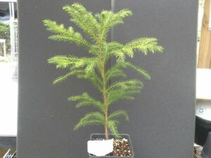 Details about Araucaria columnaris - Buy 1 Get 1 FREE Cooks Pine Tree/Seedling on bamboo house plants, black house plants, orange house plants, eucalyptus house plants, palm house plants, poplar house plants, sparrow house plants, perennial house plants, cypress house plants, lake house plants, willow house plants, cane house plants, sunflower house plants, grass house plants, alpine house plants, evergreen house plants, geranium house plants, ivy house plants, vine house plants, green leaf house plants,