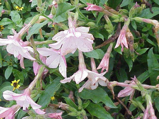 200 AZTEC NICOTIANA JASMINE TOBACCO Flower Seeds CombSH