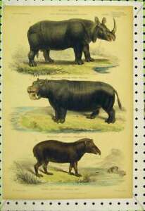 Original-Old-Antique-Print-Mammalia-C1850-Colour-Tapir-Rhinocerous-Hippopotamus
