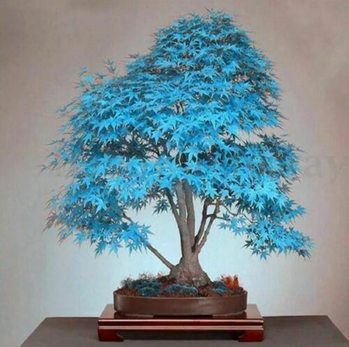 Bonsai Blue Maple Tree Seeds 20pcs For Sale Online Ebay