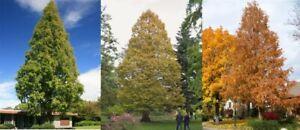 30-Metasequoia-Tree-Seeds-Mixed-Dawn-Redwood-Coniferous-Rare-Plant-Grove-Bonsai