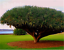 10pcs-Canary-Island-Dragon-Blood-Tree-seeds-bonsai-seed-Giant-Exotic-Tree-Fresh thumbnail 4