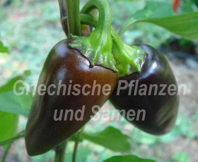 🔥 🌶️ Jalapeno purple * Chili Paprika lila schwarz * 10 Samen