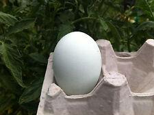Silkie X Ameraucana Hybrid Cross - Fertile Eggs for Hatching [+2 eggs]