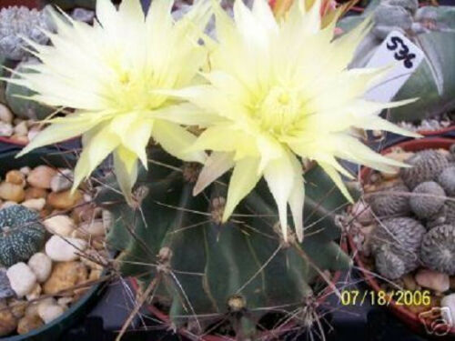 Ferocactus hamatacanthu rare cactus seed cacti 10 SEEDS