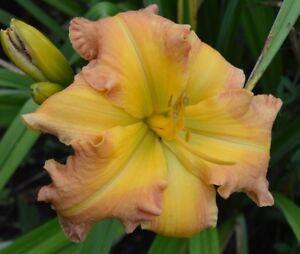PLANTS-DAYLILY-H-039-Sahara-Splendor-039