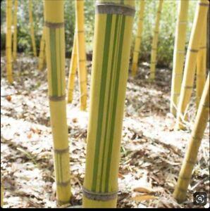 1 Tropical Phyllostachys Viridis /'Robert Young/' 12 inch Yellow Bamboo Rhizome