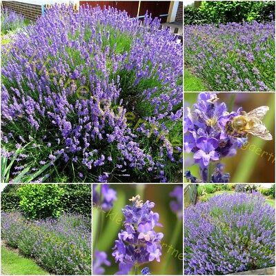 120 Samen Echter Lavendel winterhart Lavandula Bienenweide Kräuter der Provence