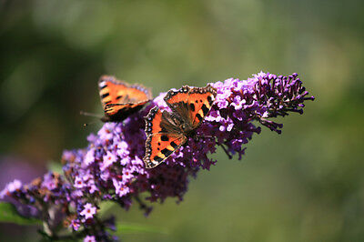 Buddleia davidii (Butterfly Bush)  Large/Trade Packet - 250 seeds.