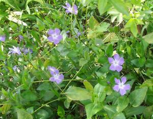 SET-3-BLUE-Perewinkle-VINCA-MAJOR-MACULATA-HARDY-perennial-plant-GARDEN-GROWN