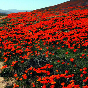 Image Is Loading Red Chief California Poppy Seeds Wildflower Rare Unique