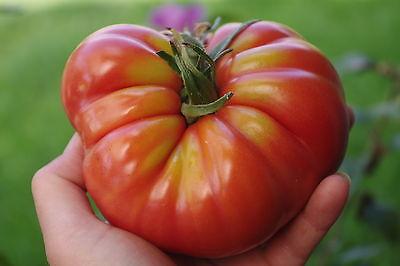 25 Graines d/'Aubergine Black Beauty Méthode BIO seed plant légume potager ancien