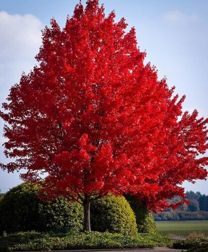 10 Fresh Clippings Red Maple Tree  Acer Rubrum Wild Grown Organic Attracts Birds