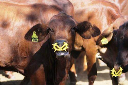 Quantity - 70 WeanPro Calf Weaning Rings