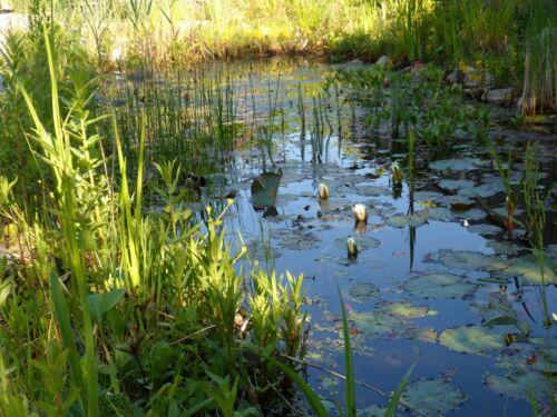 weißblühende Sumpfpflanze winterfest blühend  reinigende Wirkung 4x Fieberklee