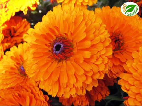 Calendula Naranja Gigante (Calendula officinalis) 300 semillas seeds - Caléndula