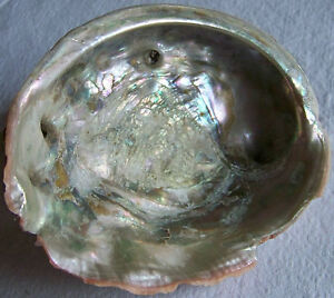 California Pacific Red Abalone Shell 7.5 X 6 Large