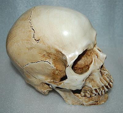 Resin Replica 1:1 Life Human Anatomy Skull Collectable Bar decoration teaching