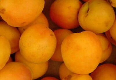 Hardy Apricot fruit tree seedling edible fruiting Northern hardy dwarf LIVEPLANT
