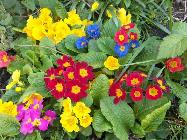 6 PRIMROSE SPRING FLOWERS GARDEN PLANTS PLUG PRIMULA COTTAGE  FLOWER PERENNIAL