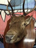 Red Stag Antlers Taxidermy Shoulder Mount Country Shop Display Delivery*