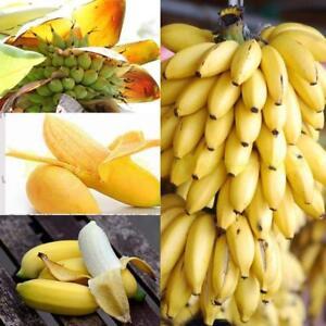 100-Zwerg-Bananenbaum-Samen-Mini-Bonsai-Exotische-Hausgarten-Pflanzen-Obst-X6R6