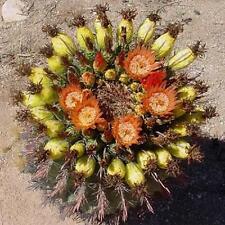 Ferocactus Wislizenii candy barrel cactus Fishhook cacti succulent seed 10 SEEDS