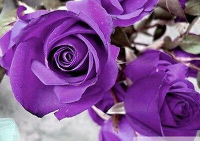 100 Purple Rare Rose Seeds Fresh Rose Seed For Lover