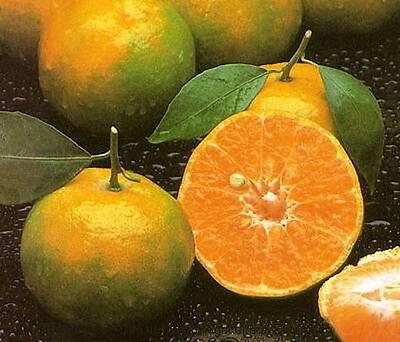 Tropcal Thai Tangerine Orange 10 Seeds Fruit Tree very sweet Citrus Tangerina
