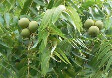 Three Juglans Nigra -Black Walnuts.
