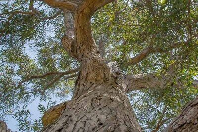 Southern Mahogany 200 Fresh Seeds Eucalyptus botryoides