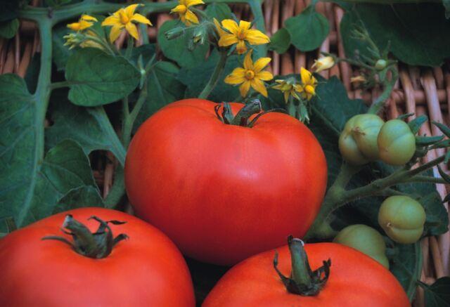 Vegetable - Tomato - Beefmaster F1 - 15 Seeds