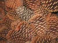 Texas Pine Cones, Large (4-1/2 To 5), Slash Or Loblolly, Set Of 12