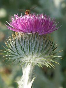 Garten-Pflanzen-Samen-winterharte-Zierpflanze-Saatgut-Staude-ESELSDISTEL