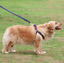 Harness-Leash-Collar-Jean-Style-Comfy-Dog-Pet-Puppy-Lead-Control-Heavy-Duty thumbnail 5