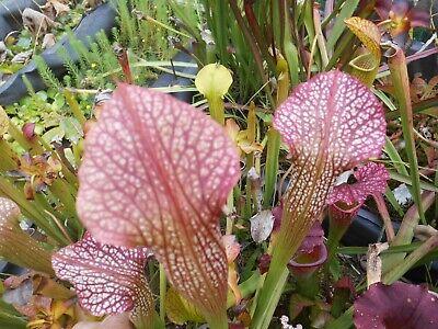Leuco x Rubra Sheridan carnivorous sarracenia plant