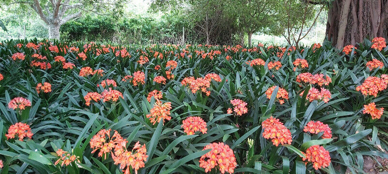 Clivia For Sale
