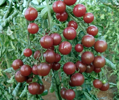 VEGETABLE TOMATO BLACK OPAL 20 FINEST SEEDS