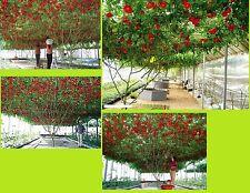 25x Tomaten Samen kletter Garten Baum Pflanze Rarität Tomate essbar gesund #98